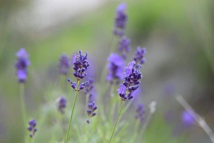 Lavande, Fleur De Lavande, Parfum, Senteur, Nature